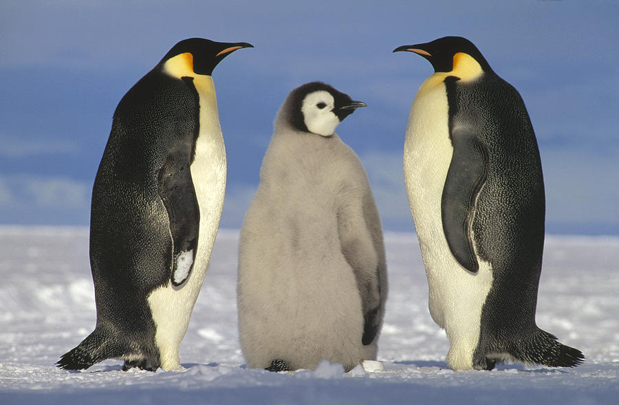 Mp Photograph - Emperor Penguin Aptenodytes Forsteri by Tui De Roy