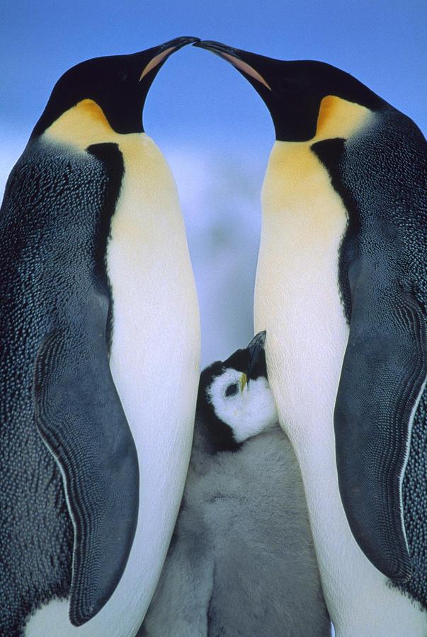 Emperor Penguins Aptenodytes Forsteri Photograph by Tui De Roy