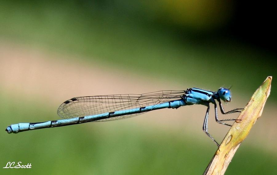 Dragonfly Photograph - Enallagma by LC  Linda Scott