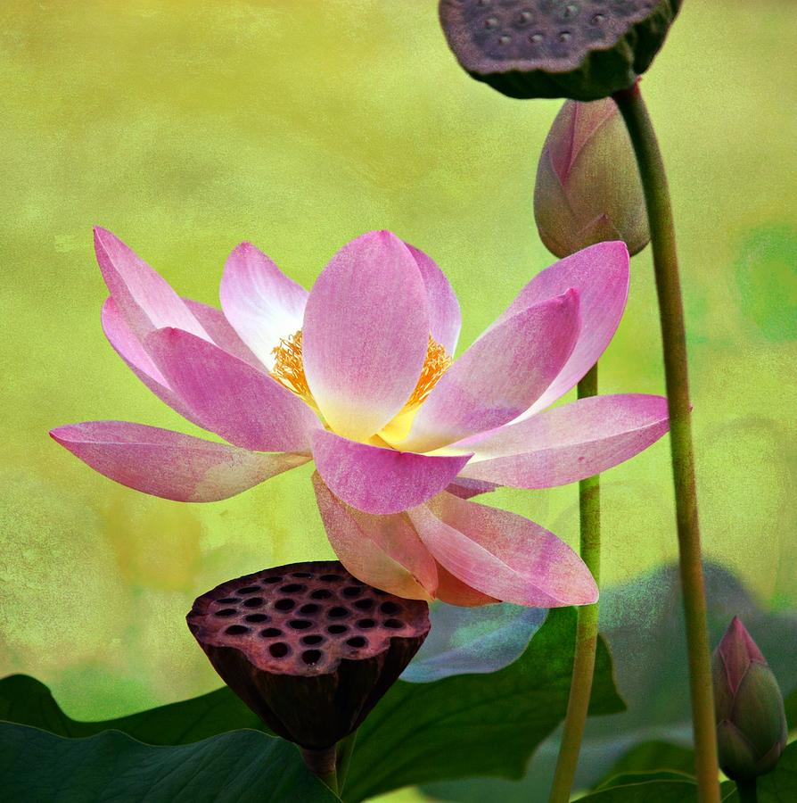 Pink Lotus Flower Photograph - Enchantment by Fraida Gutovich