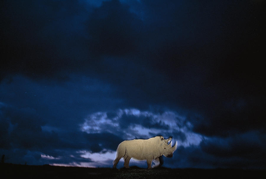 Twilight Photograph - Endangered Northern White Rhinoceros by Michael Nichols