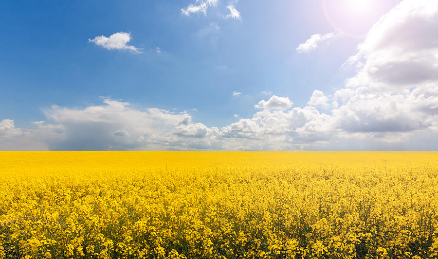 Horizontal Photograph - Endless Yellow Canola Field by © Bjorn van der Meijs