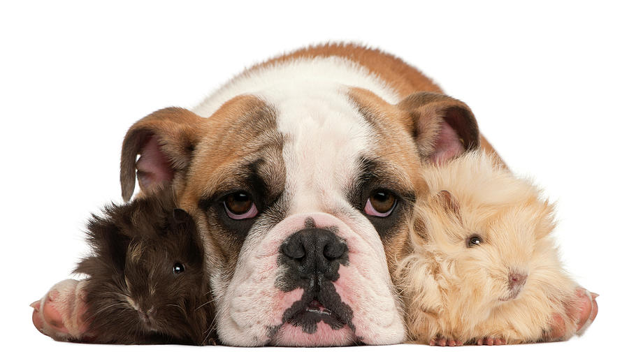 English Bulldog And Guinea Pig Photograph by Life On White