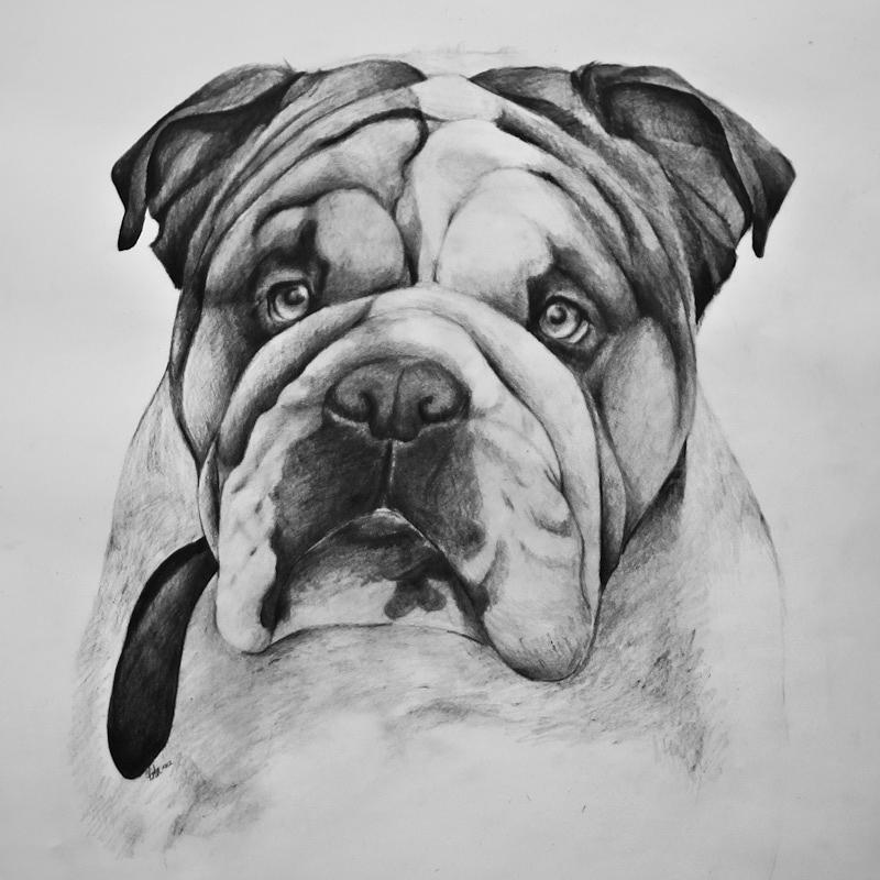 English Bulldog Drawing by Asta Viggosdottir