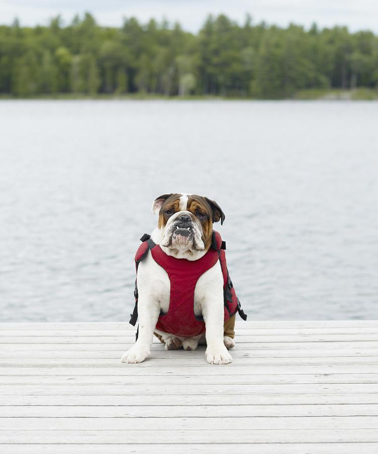 English Bulldog Wearing Life Jacket On Dock Photograph by Lwa