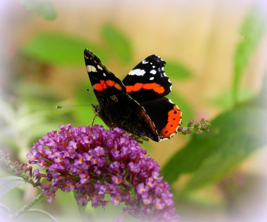 english-butterfly-carol-hynes.jpg