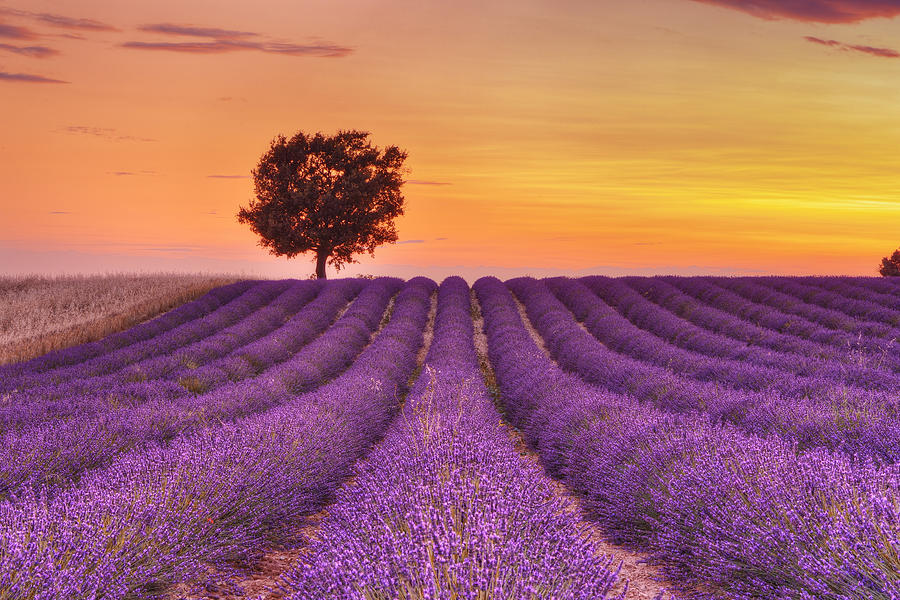 English lavender field with tree at sunset valensole for Haute in english