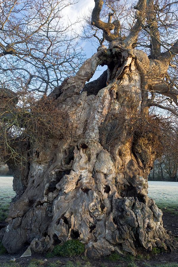 English Oak Photograph - English Oak Tree (quercus Rober) At Dawn by Bob Gibbons