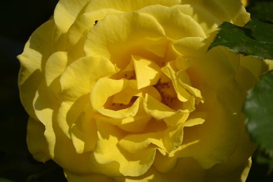 Pure Photograph - English Rose - Yellow by Dickon Thompson