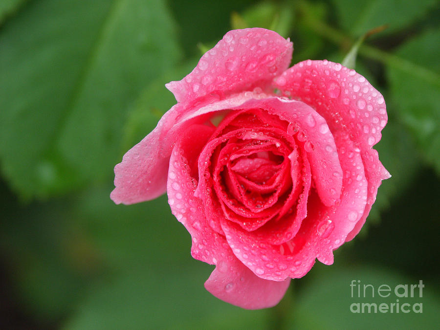Plant Photograph - English Rose by Bonnie Sue Rauch and Photo Researchers