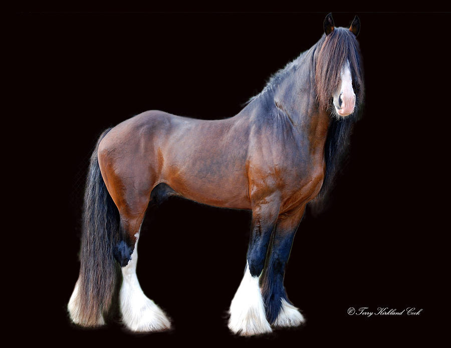 Horse Photograph - English Shire Study by Terry Kirkland Cook