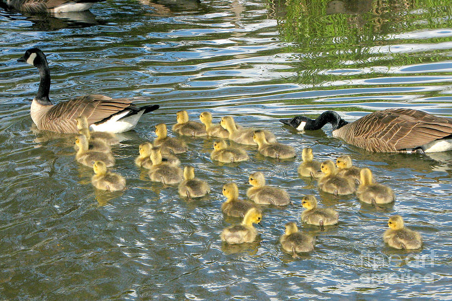 Goose Photograph - Enouth With The Fertility Pills by Frank Townsley