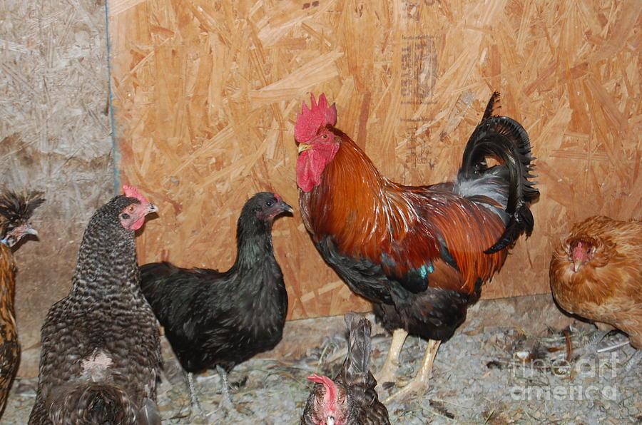 Chickens Photograph - Enter The Dominant One by Nick