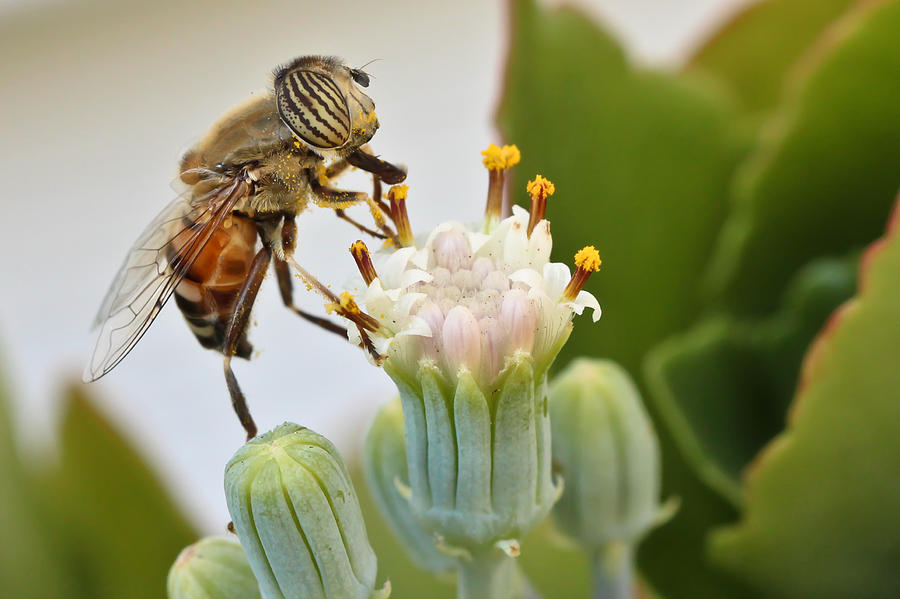 Hoverfly Photograph - Eristalinus Taeniops by Heidi Smith