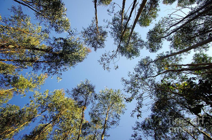 Air Photograph - Eucalyptus by Carlos Caetano
