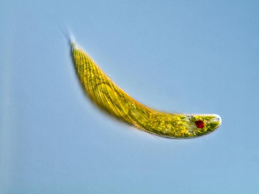 Animal Photograph - Euglena Protozoan, Light Micrograph by Gerd Guenther