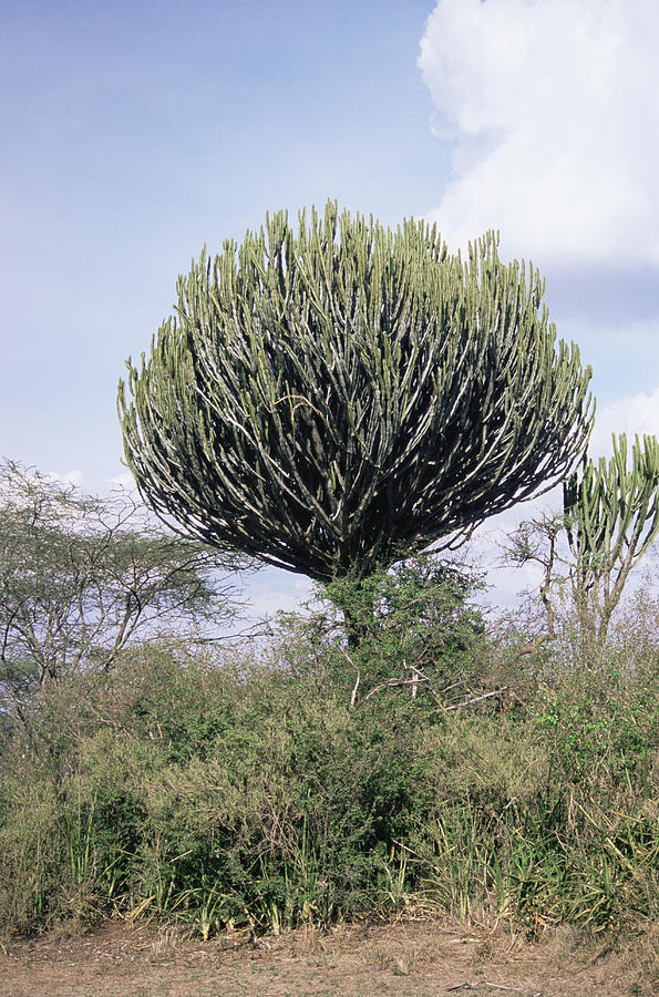 Euphorbia Candelabrum Photograph - Euphorbia Candelabrum by Adrian T Sumner
