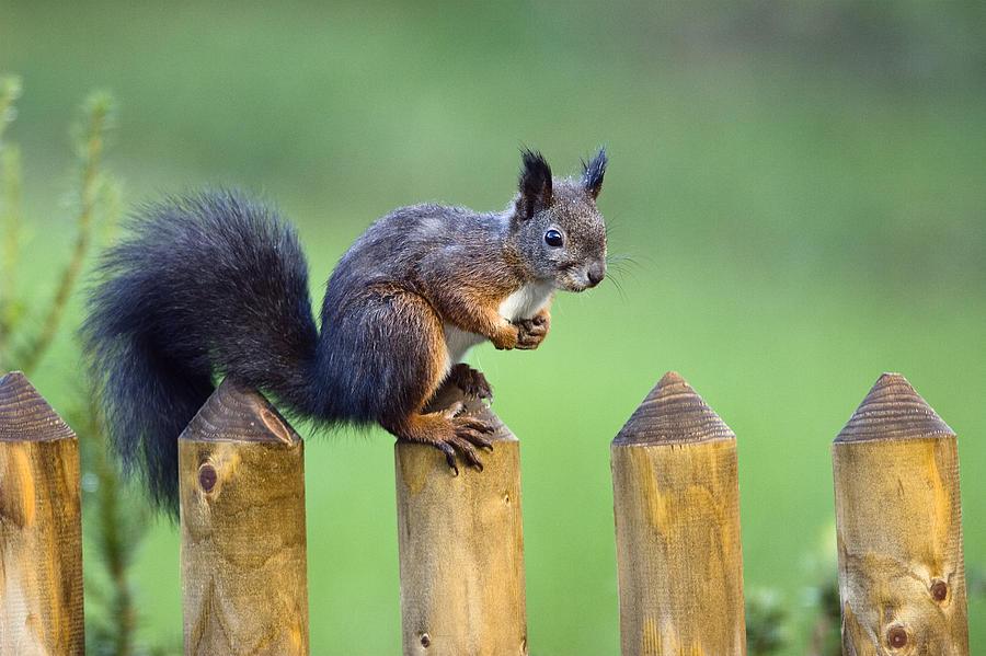 Eurasian Red Squirrel Sciurus Vulgaris Photograph by Konrad Wothe