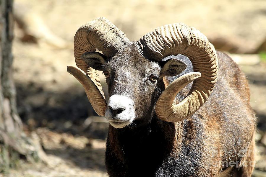 European Big Horn Mouflon Ram Photograph By Teresa Zieba