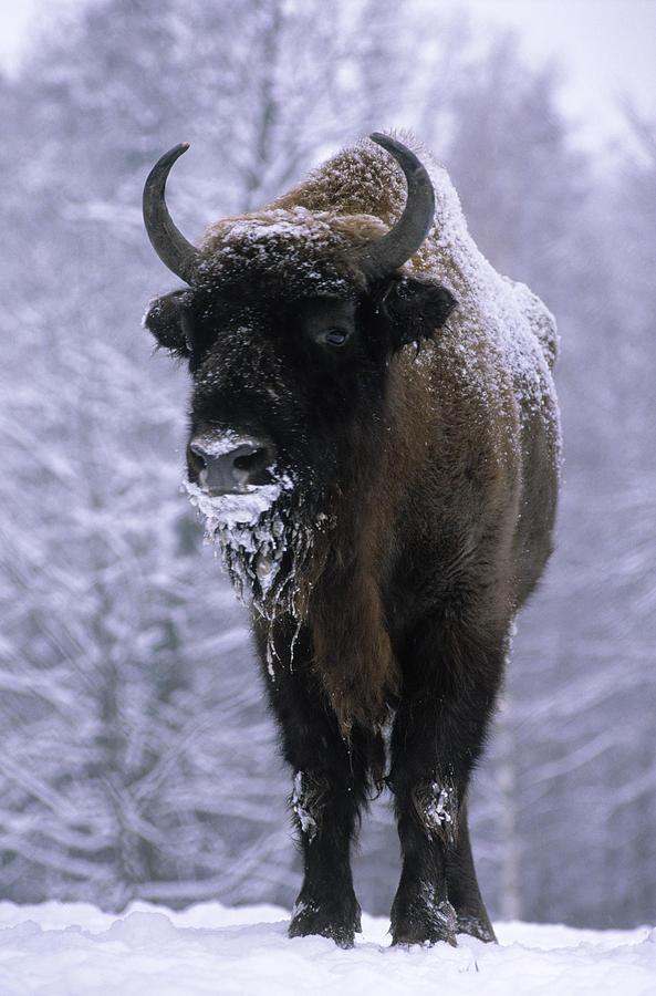 European Bison Bison Bonasus In Snow Photograph by Rinie Van Meurs