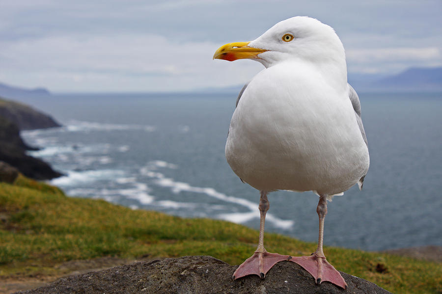 Blur Photograph - European Herring Gull Larus Argentatus by Trish Punch