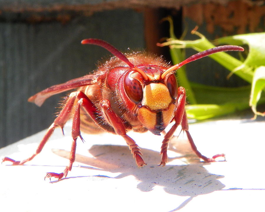 Bee Photograph - European hornet by Chad and Stacey Hall