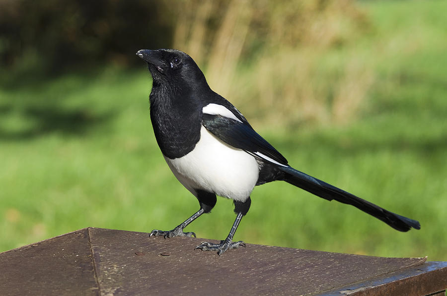 Iphone  Magpie