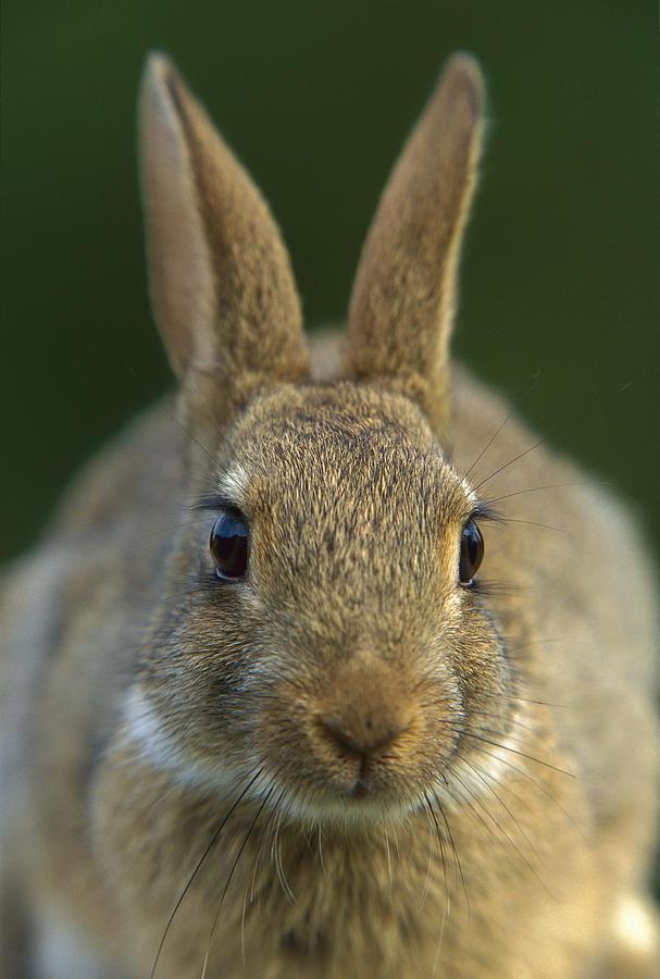 European Rabbit Oryctolagus Cuniculus Photograph by Cyril Ruoso