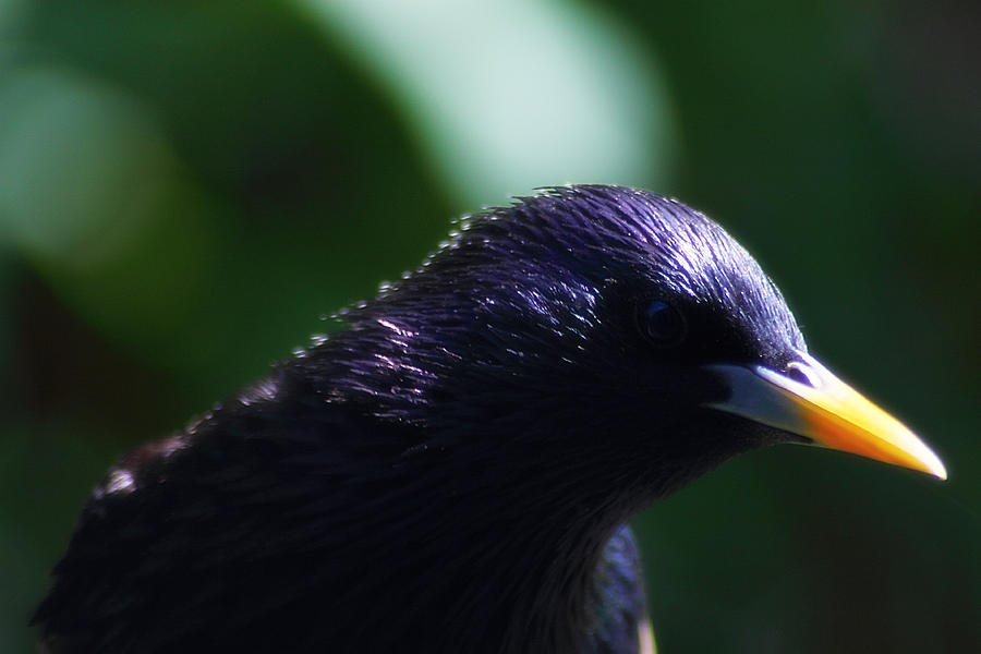 Bird Photograph - European Starling by Scott Hovind