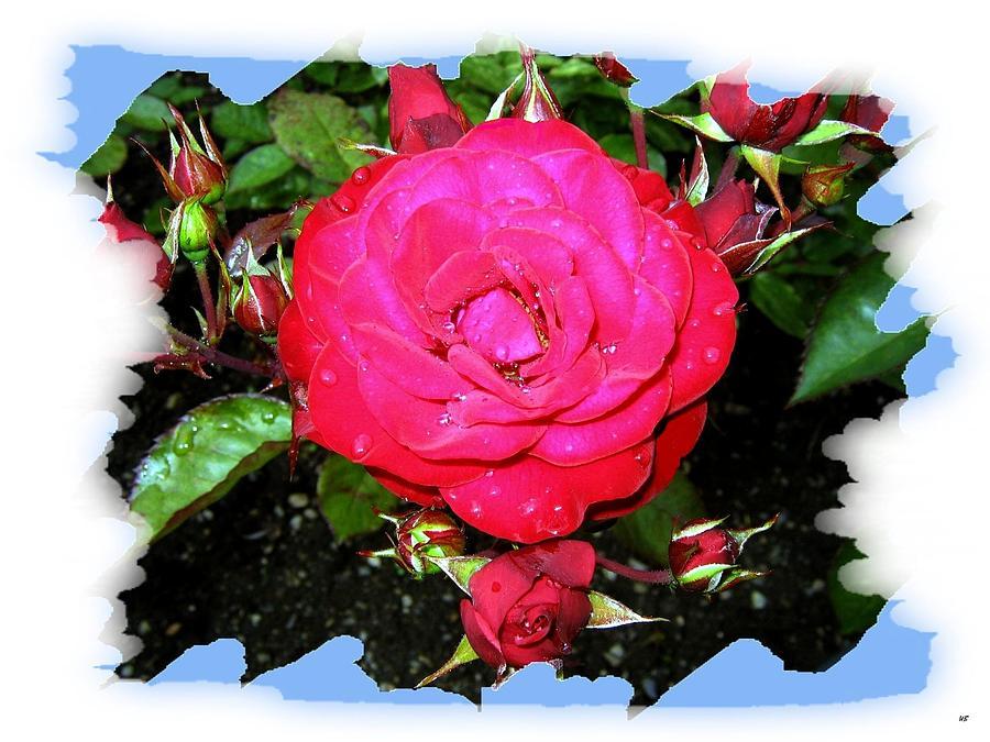 Europeana Roses Photograph - Europeana Roses And Raindrops by Will Borden