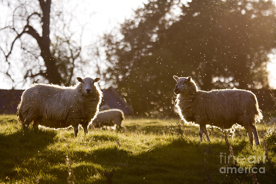 Sheep Photograph - Evening On The Meadow by Angel  Tarantella