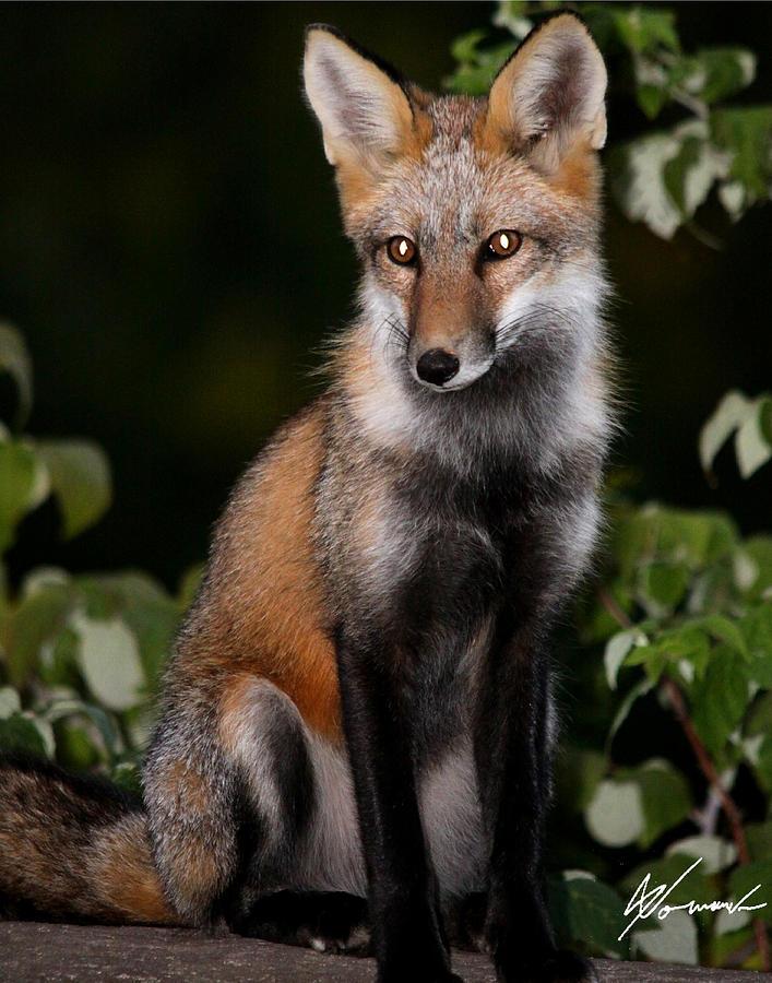 Fox Photograph - Evening by Sarah  Lalonde