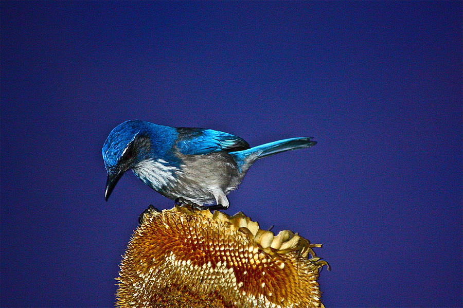 Birds Photograph - Evening Visitor by Diana Hatcher