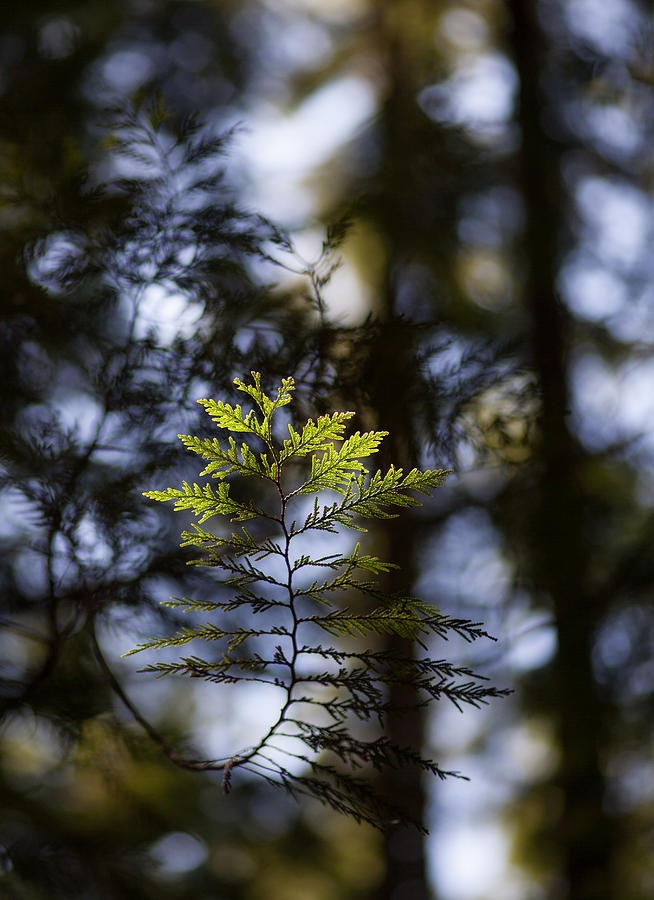 Forest Photograph - Evergreen Light by Mike Reid