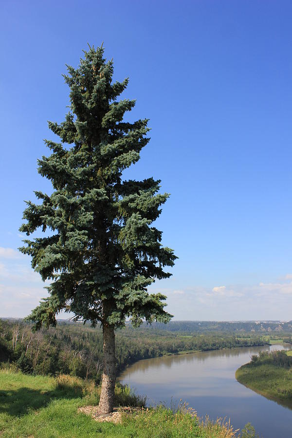 Rivers Photograph - Evergreen Tree Beside The River by Jim Sauchyn
