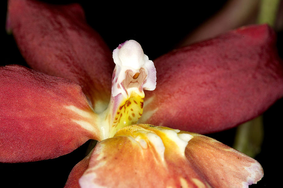 Ribet Photograph - Exotic Orchid Bloom by C Ribet