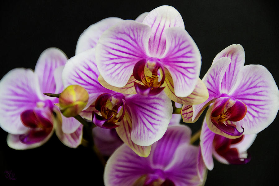 Exotic Orchids Photograph By Angelina Tamez