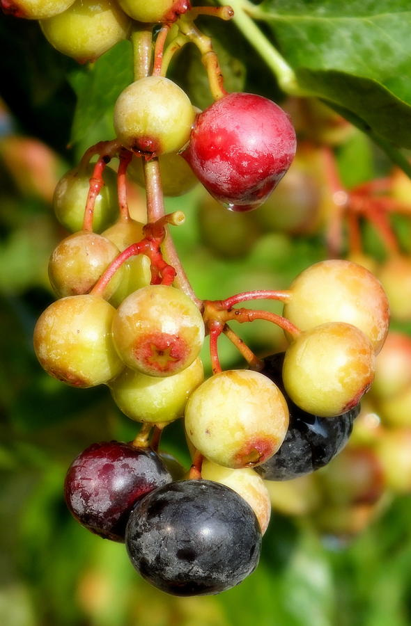 Blueberries Photograph - Expectation by Karen Wiles
