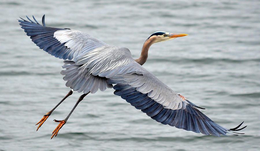 Great Blue Heron Photograph - Extravagant Wingspan by Fraida Gutovich