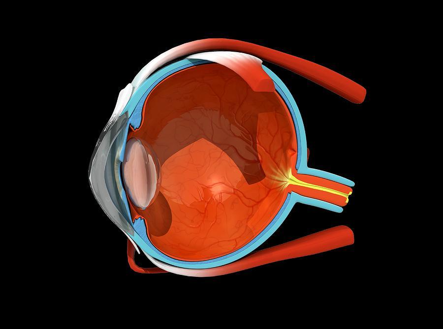 Eye Photograph - Eye Anatomy by Jose Antonio PeÑas