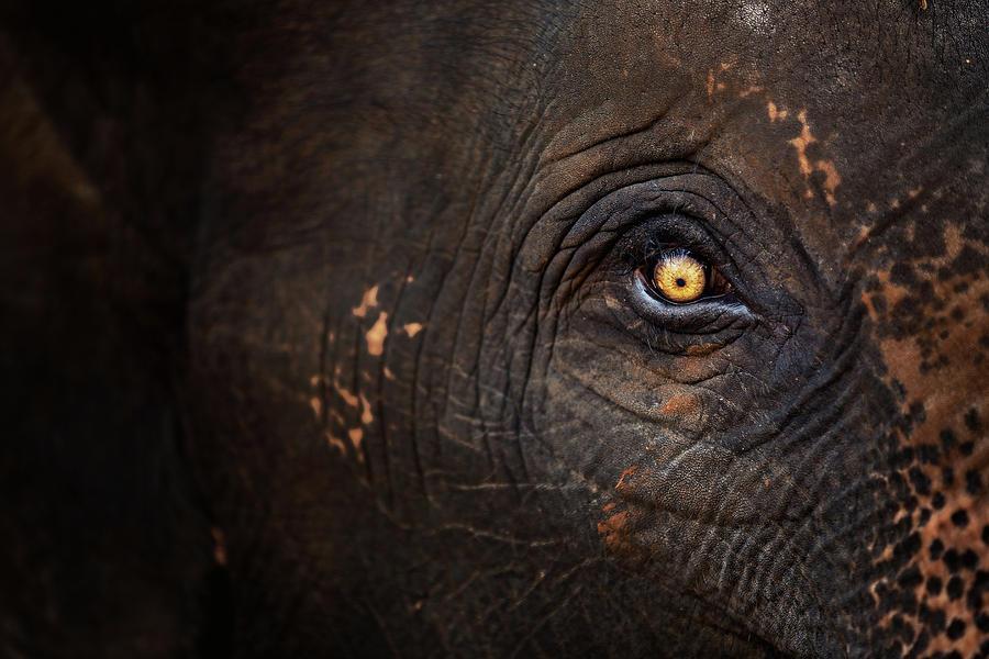 Horizontal Photograph - Eye Of Thai Elephant by presented by Zolashine