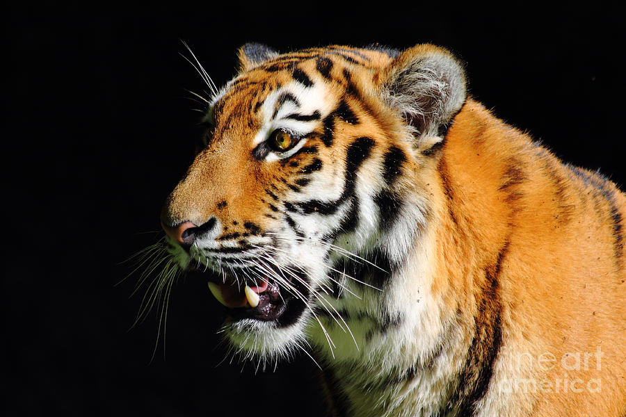 Tiger Photograph - Eye Of The Tiger by Holger Ostwald