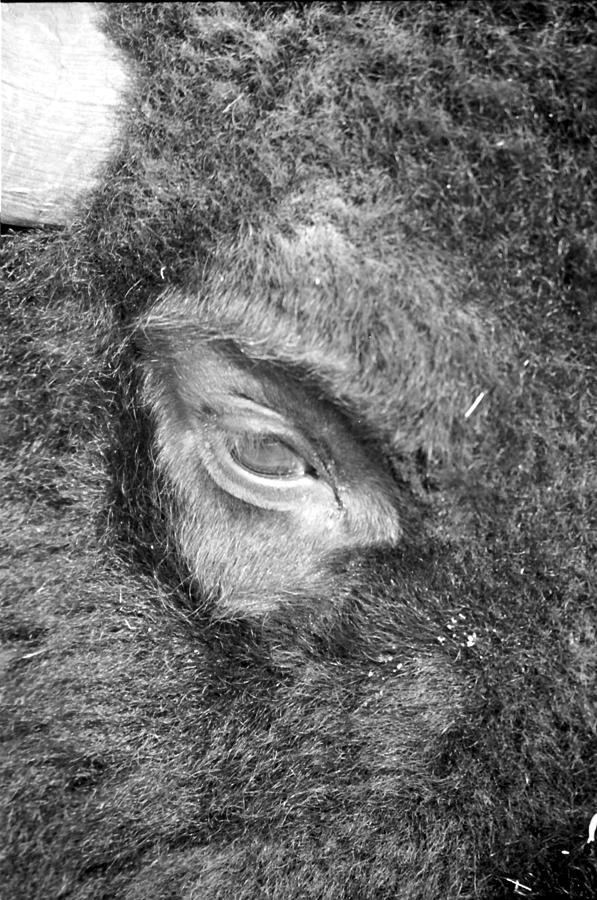 Bison Photograph - Eye See You by Rick Rauzi