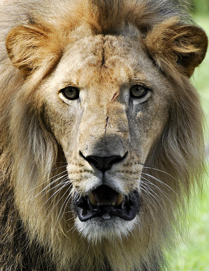 Face Of A Lion Photograph By Evelyn Peyton