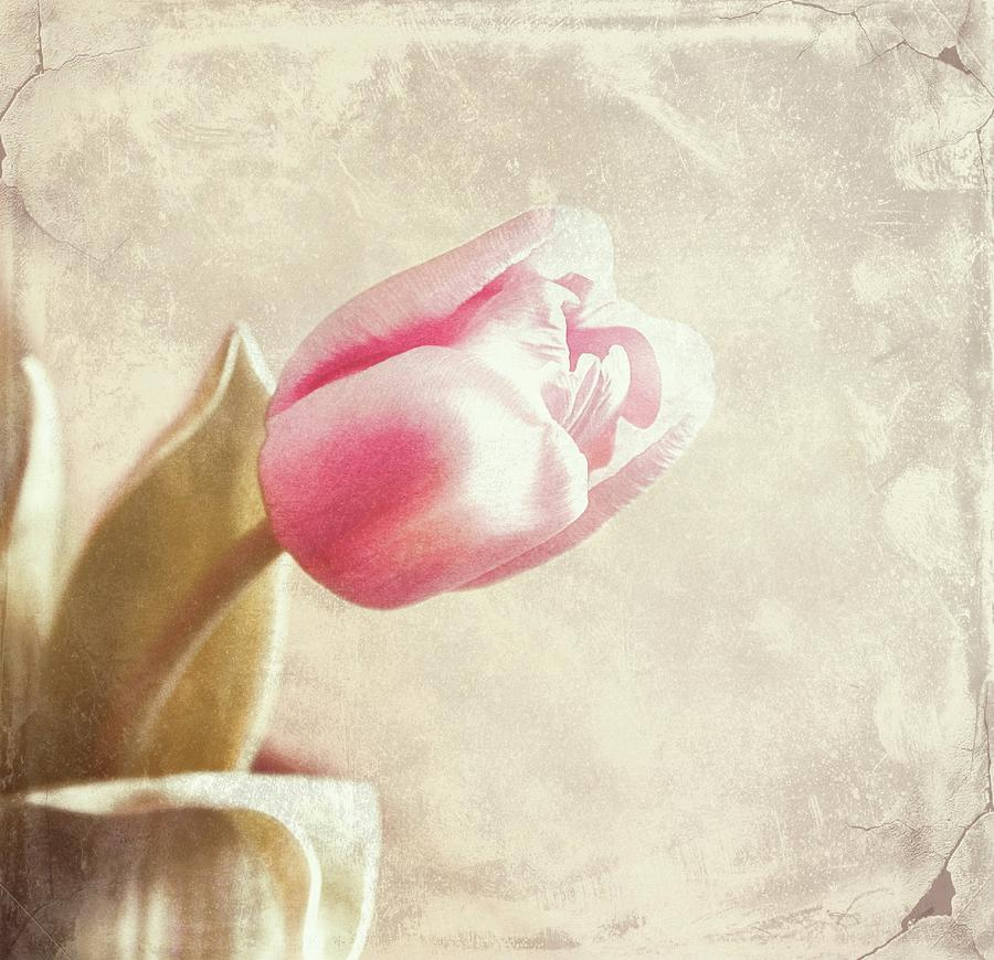 Tulips Photograph - Faded By The Light by Cathie Tyler
