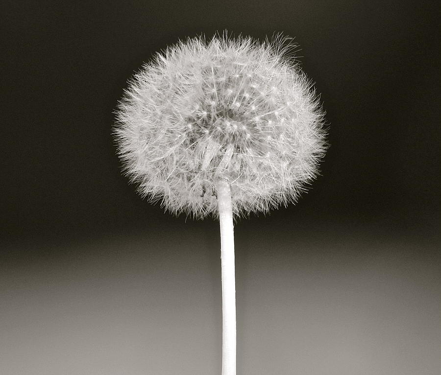 Dandelion Photograph - Fairy Ball by Karen Grist