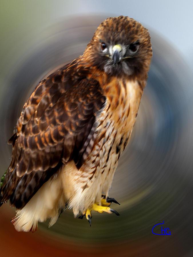 Colette Photograph - Falco 2 Tinnunculus Vf by Colette V Hera  Guggenheim