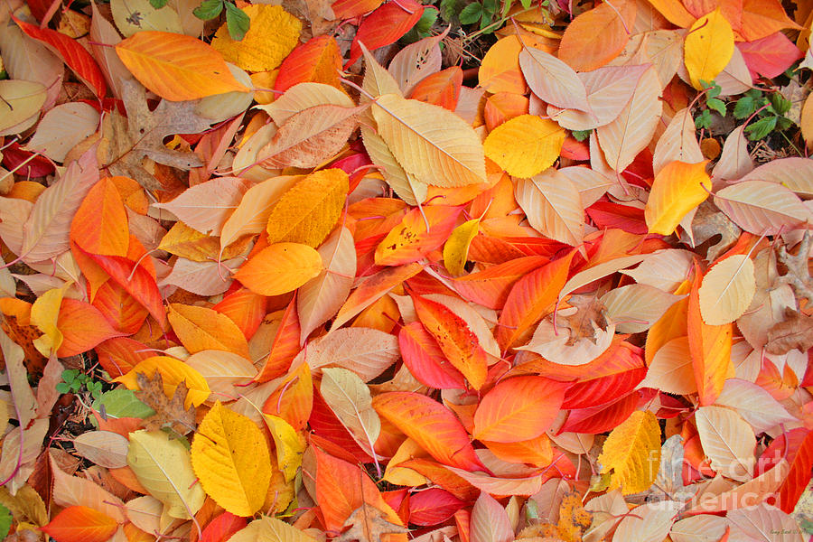 Fall Apple Tree Leaves Photograph By Kenny Bosak