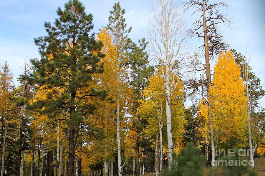 Aspen Photograph - Fall Colors Aspen by Pamela Walrath