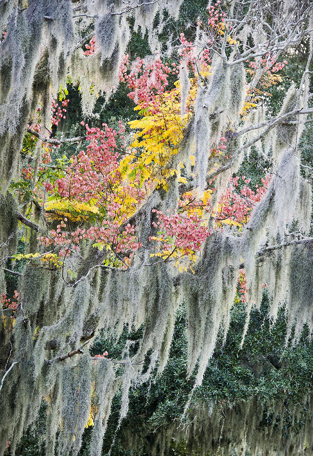Air Plant Photograph - Fall Colors In Spanish Moss by Carolyn Marshall